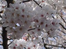 1週間前の桜