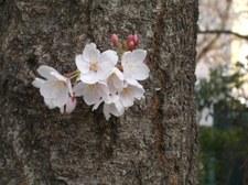 1週間目の芽吹いた桜
