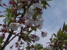 散り残った桜