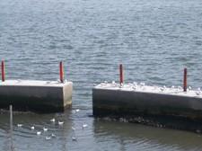 堤防に入るカモメ